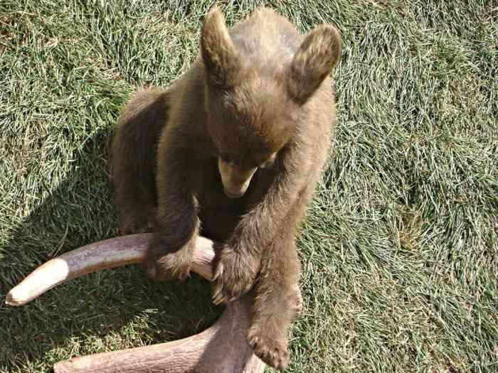 bear cub at Bear Country USA