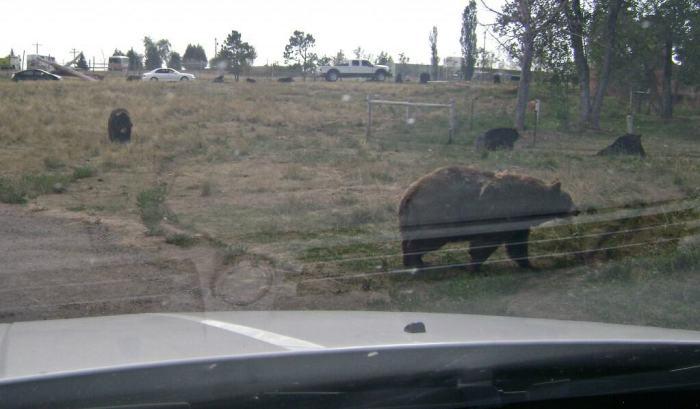 bear across road