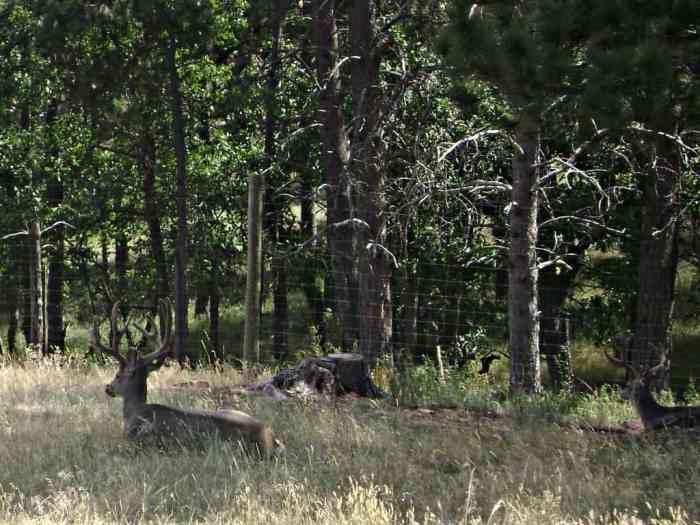 reindeer at Bear Country USA