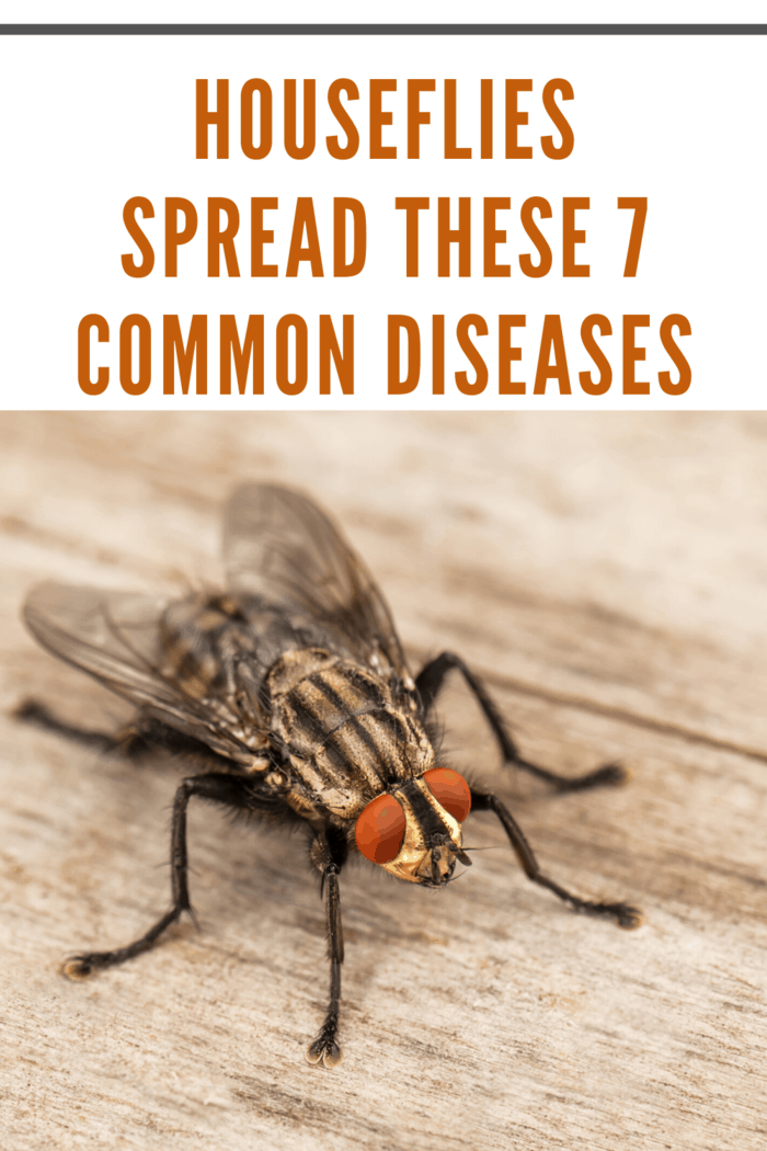 These common diseases spread by houseflies make them a legitimate health hazard. Here's the 7 most common diseases spread by houseflies.