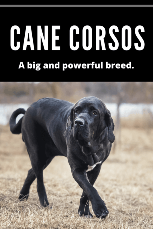 cane corsos are Robust and sturdy dog, nevertheless with some elegance.