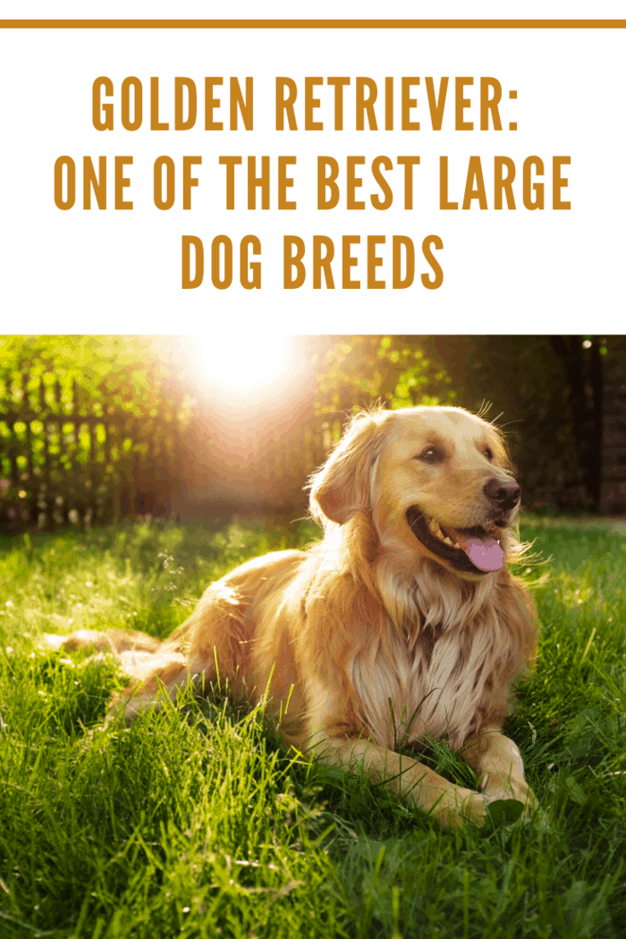 Arguably the most cheerful dog breed, golden retrievers are known for their heartwarming, happy dog smiles. Like their Labrador cousins, they are gentle, intelligent friend-makers.