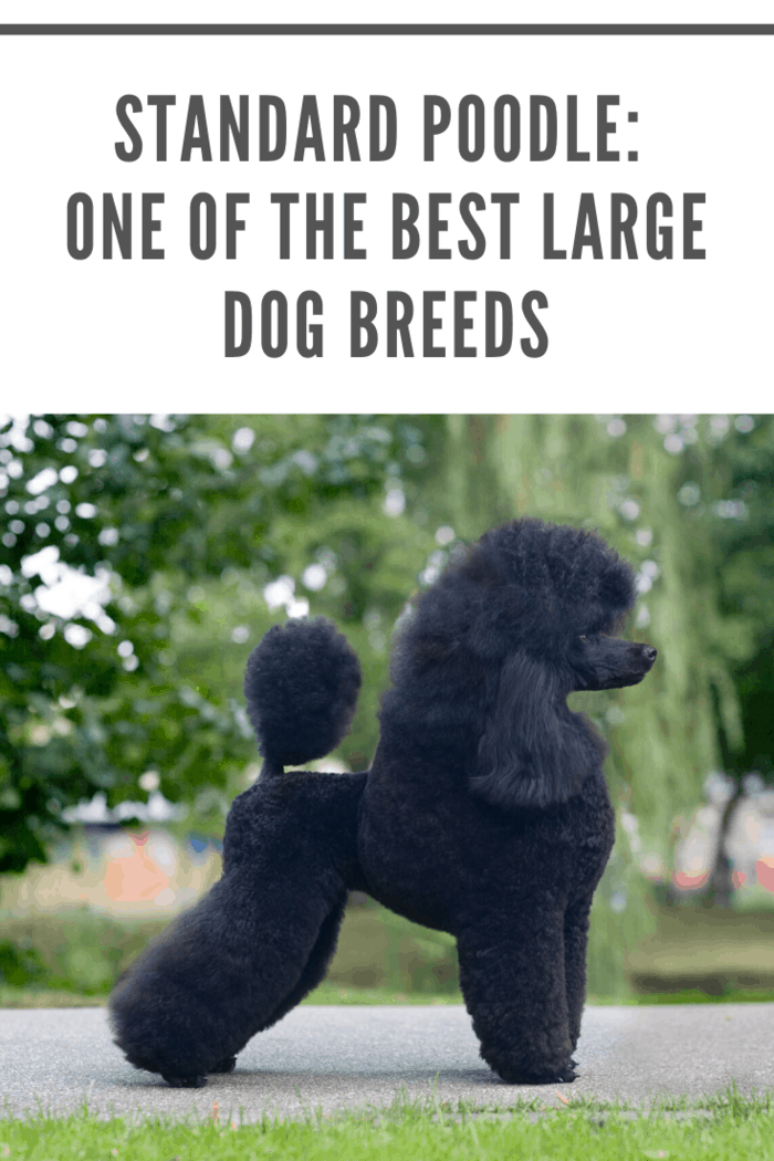 Since poodles are so famous as show dogs, they've earned an unfortunate, and quite unfair, stereotype. A lot of people think poodles are only for professional dog trainers or rich snobs who want an award-winning show-dog to brag about.