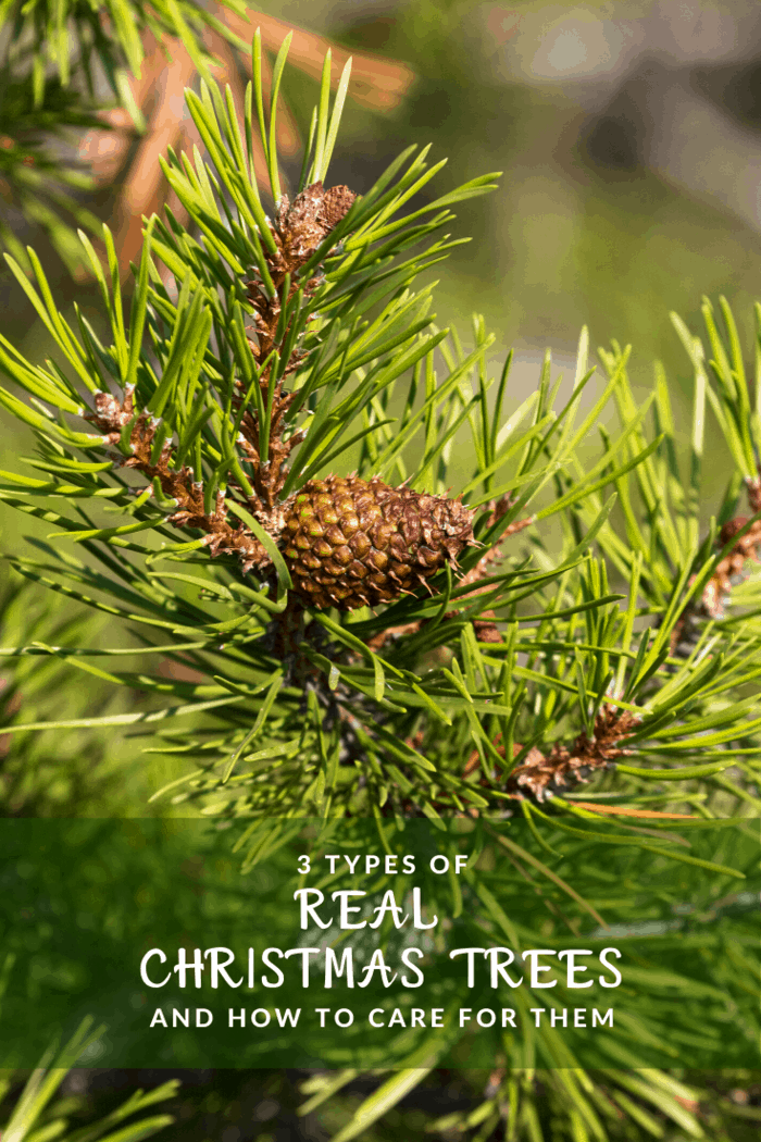 With the most significant needle retention of all, Lodgepole pines are an excellent selection for those who prefer to decorate their tree a little earlier and leaving the tree up for a short while longer after Christmas is over.
