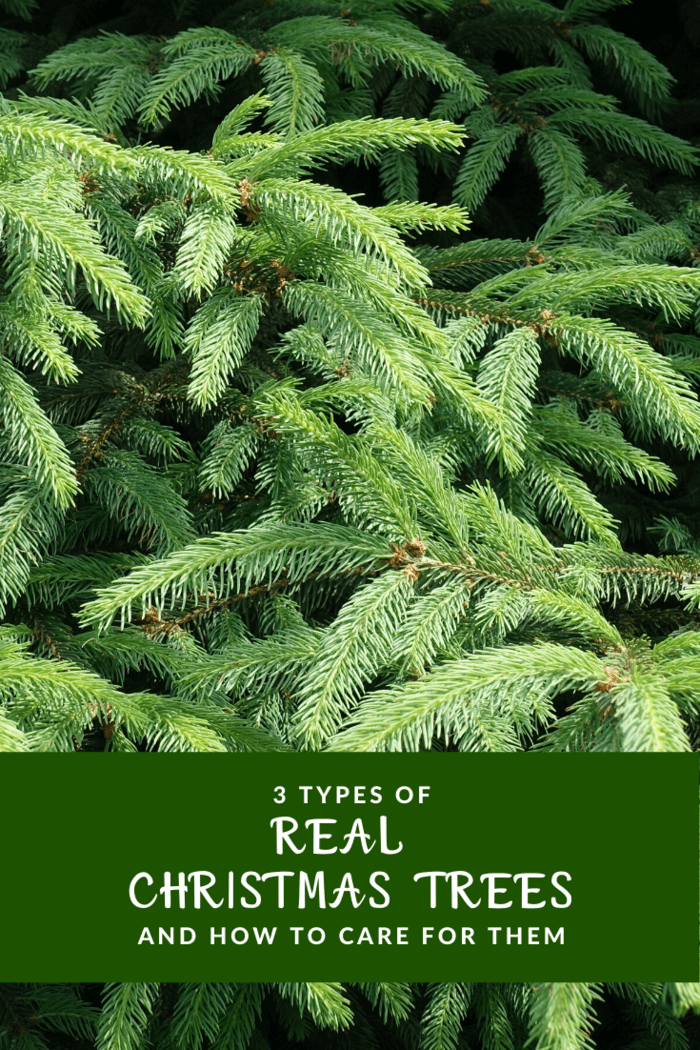 With the prolonged scent and its traditional scent, the Norway spruce is an excellent choice for those who want the conventional smell and look of Christmas.