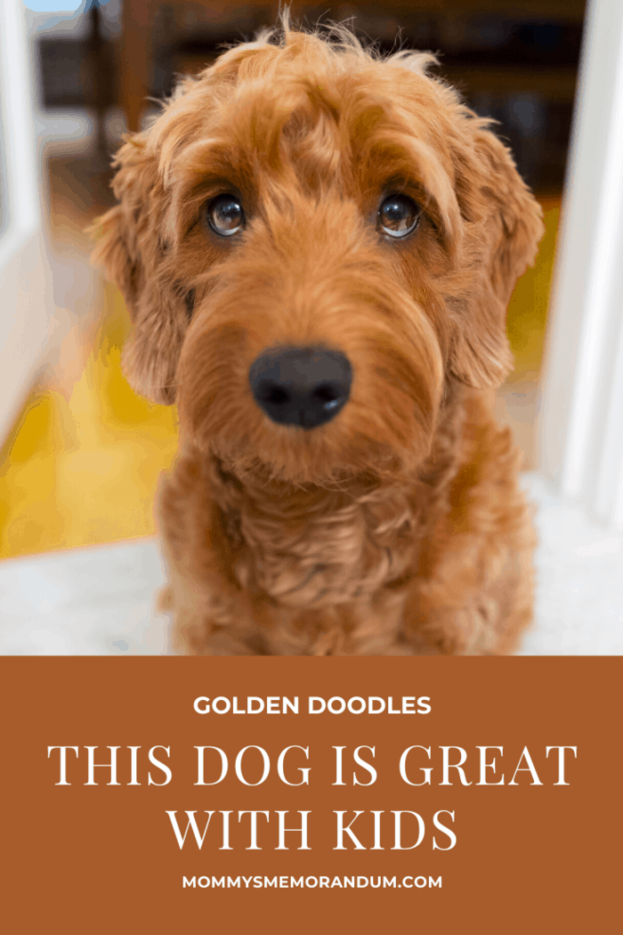 Golden doodles aren't as high energy as the golden retriever, but you'll still need to give them two walks a day.