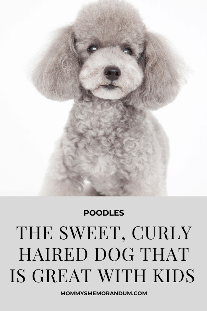 The greatest thing about poodles is that they come in a range of sizes, and they're hypoallergenic. They're the perfect dog for a family that doesn't like mess or, more likely, has enough mess on their hands already.