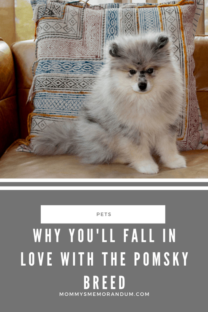 Pomsky dogs are friendly with young children who like them to have close as a company.