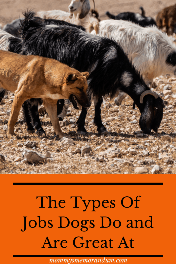 Types of Jobs Dogs Do: Instead of herding the animals, guard dogs fiercely protect the livestock like they're their own puppies.