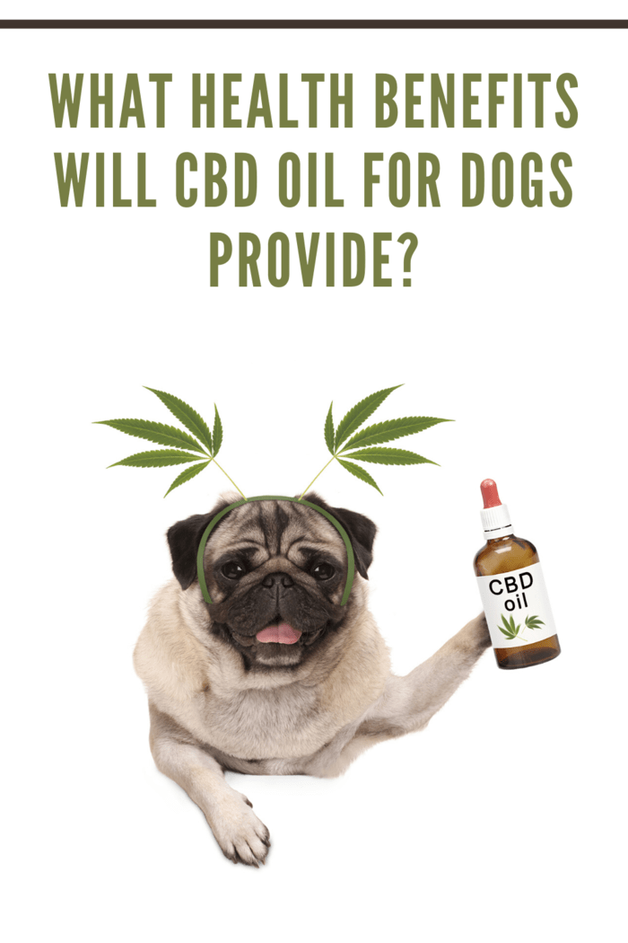 pug holding a bottle of CBD Oil for Dogs with hemp leaf antenna on head