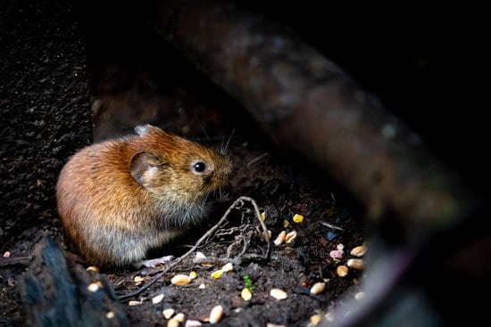 mouse, a pest, eating underneath a house