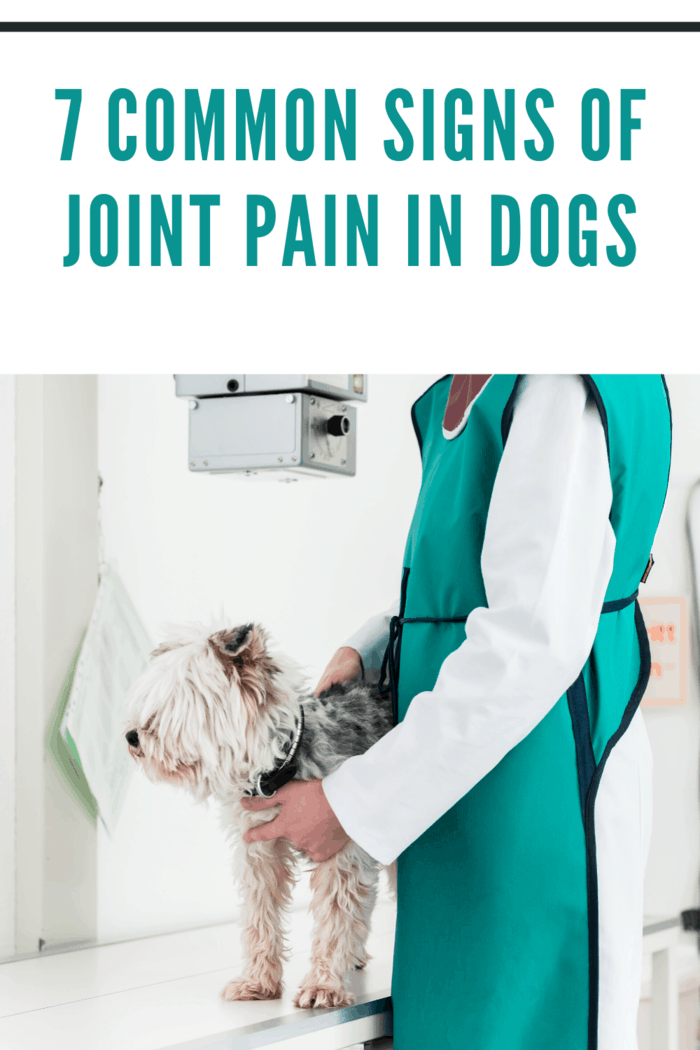 dog at vet being checked for joint pain