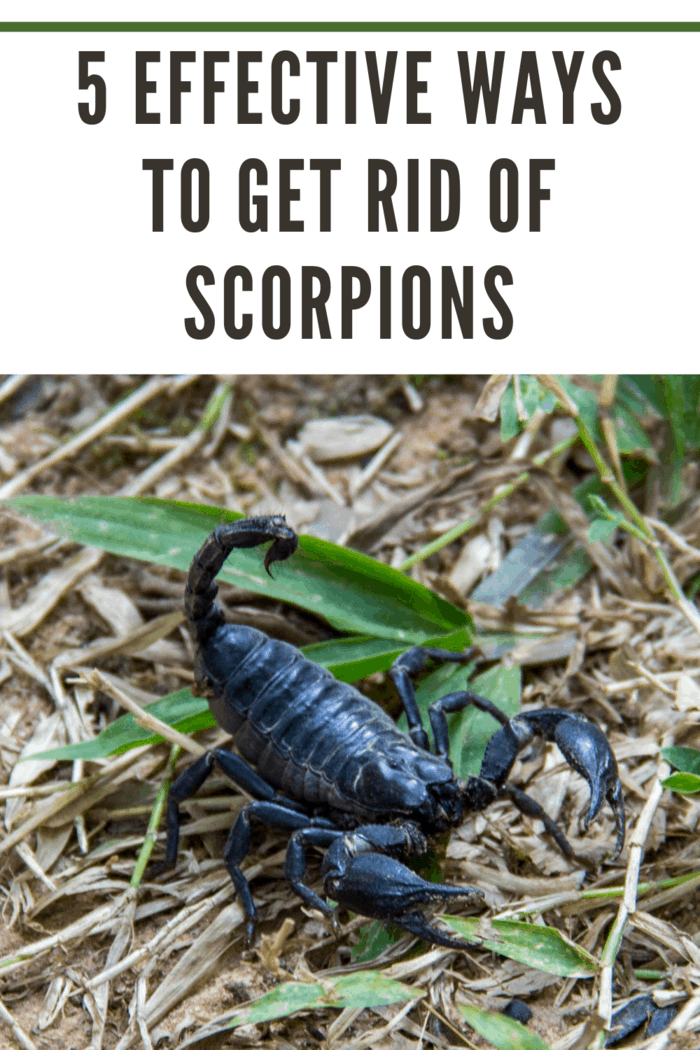 An Asian Forest Scorpion (Black Scorpion, Heterometrus longimanus) on the grounds of the Preah Khan Temple in the Angkor Wat complex.