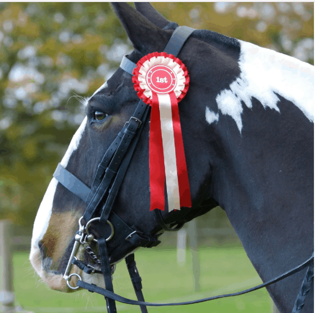 Head shot of a colored cob in double bridle with a first placed rosette.
