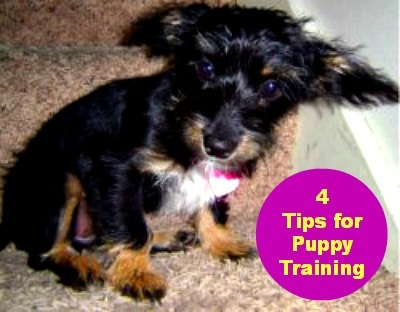4 tips for puppy training #dog #puppytraining
