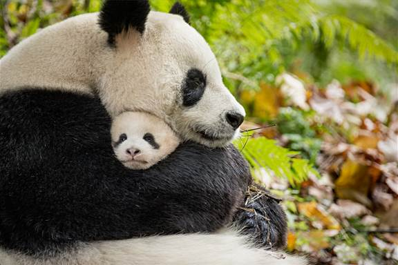 born in china mom with cub