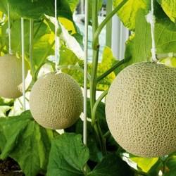 Shizuoka Crown Melon Farm
