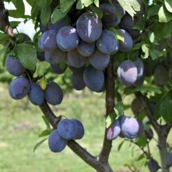 tulare-giant-sugar-plum-tree
