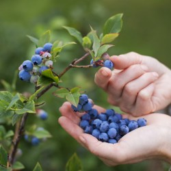 African Blue Blueberry