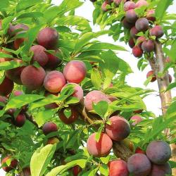 Flavor Fall Pluot Tree