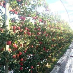 Seeing the apples through the trees