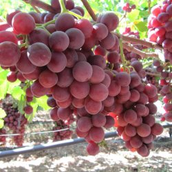Sweet Celebration® Red Seedless Grapes