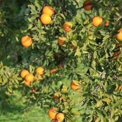 Sunkist Navel Orange  Tree