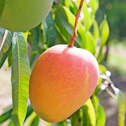 R2E2 Mango tree