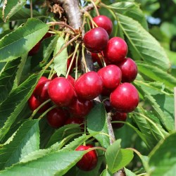 Chilean Red Cherry