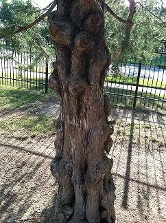 Knobbly tree for meditation