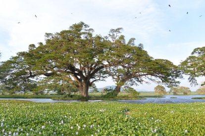 ティッサマハーラーマの貯水池(大コウモリの木)