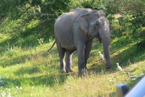 ヤーラ国立公園の象-1