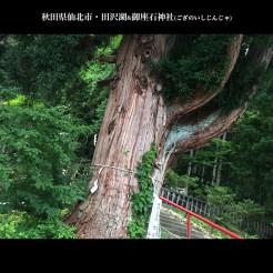天然記念物「御座の石の杉」