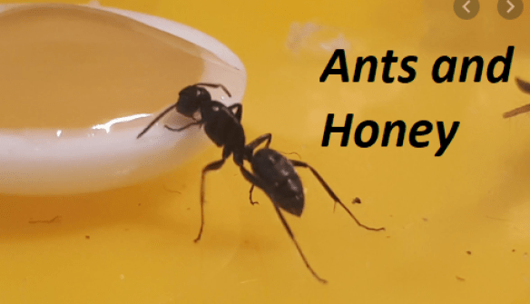 Did You Know: Why Ants Don't Easily Get Attracted to Honey?