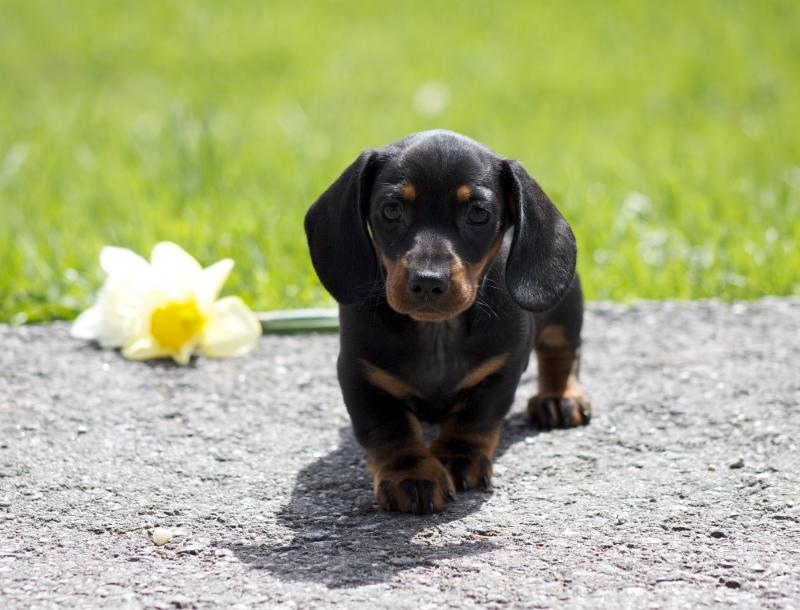 Moms Dachshunds Past Puppies