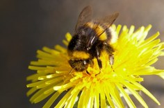 Bumble-bee+and+dandelion+13332