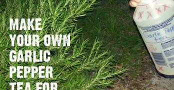 How to Make Garlic Pepper Tea Bug Repellant for Your Garden