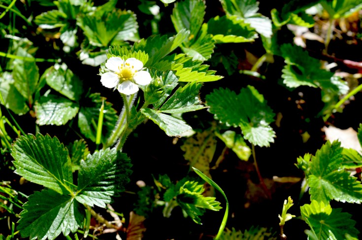 wild strawberry patch going the flower