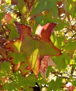 American sweetgum tree leaf