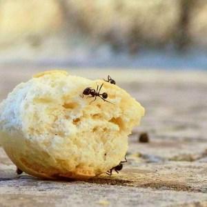 défi au jardin : pesticides - fourmis sur morceau de pain - mon alter eco