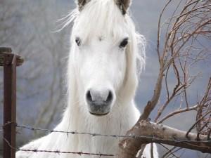 Histoire d'un voeu - conte écologique - cheval poney blanc - mon alter eco