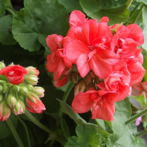 Le pélargonium ou géranium des fleuristes