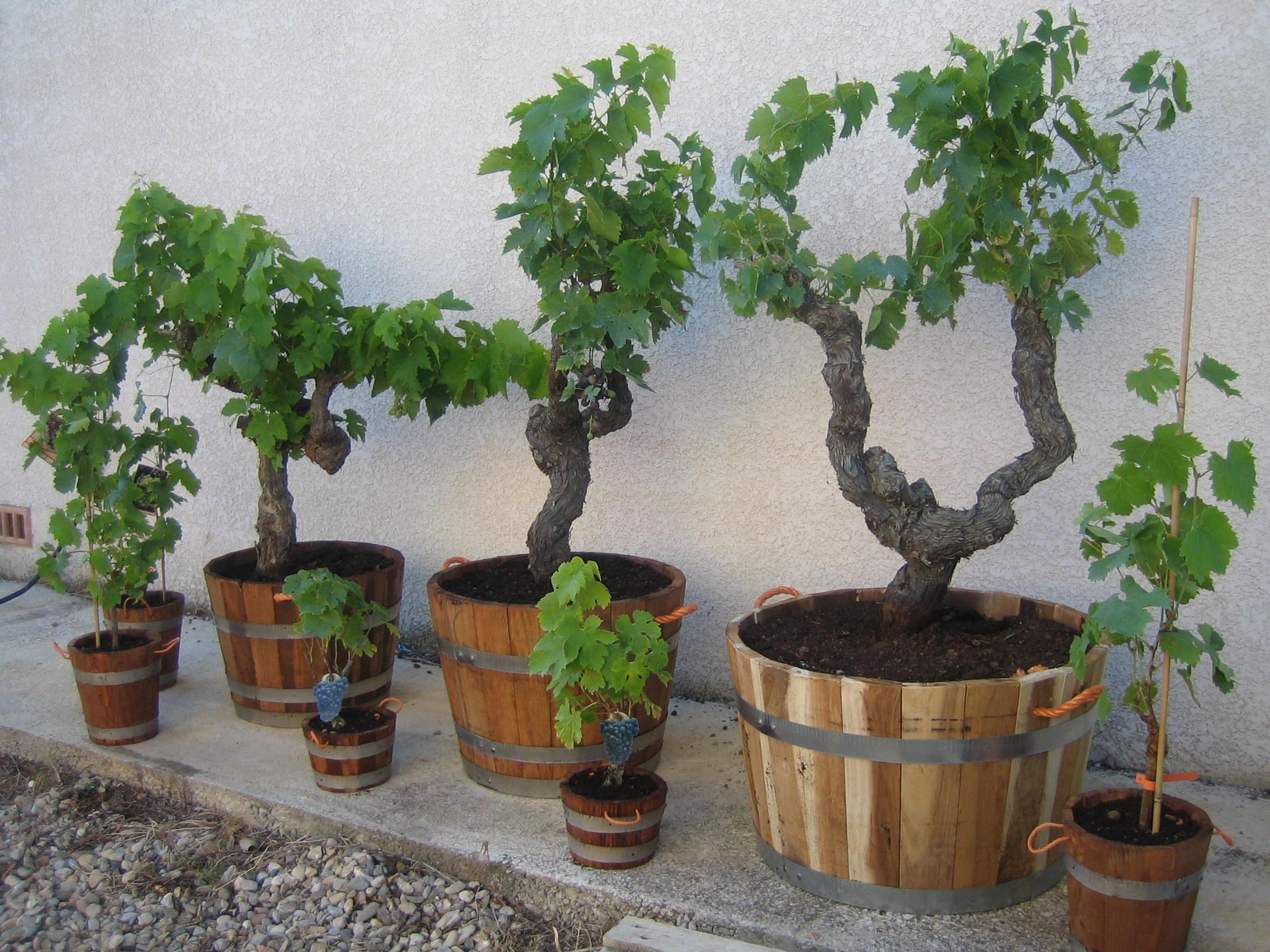 Une vigne en pot sur votre balcon