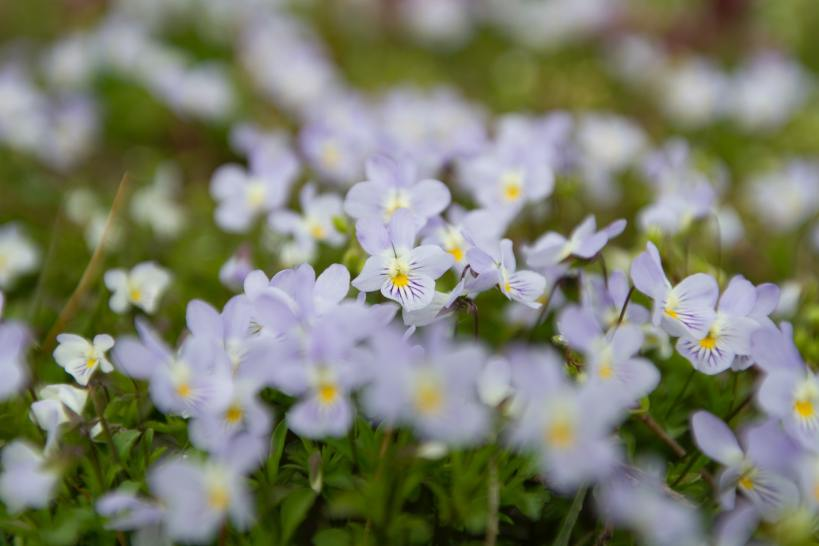 La pensée à corne ou viola est une charmante petite fleur de printemps