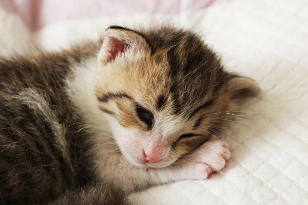 トキソプラズマはネコから感染する?