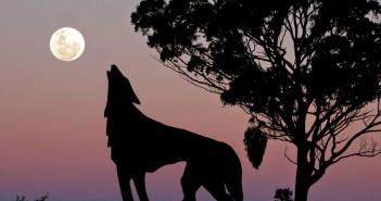 Le loup est de retour dans les Vosges !