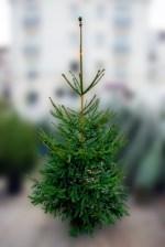 Choisir votre sapin de Noël