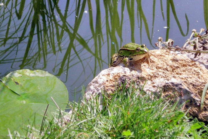 Grenouille de la Lorraine bucolique ! © French Moments