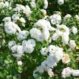rosier buisson blanc