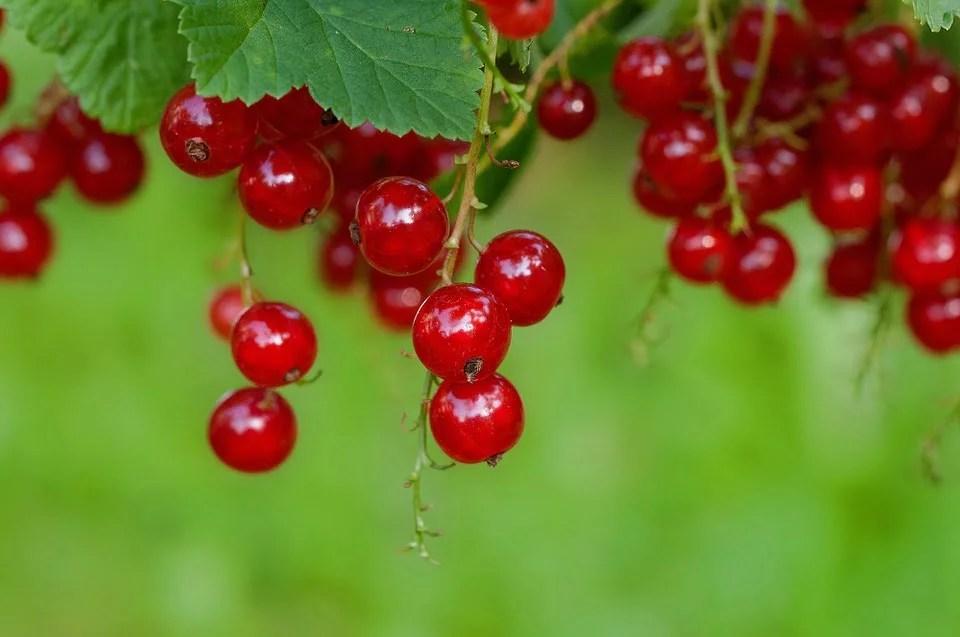 Groseille pour un jardin fruité